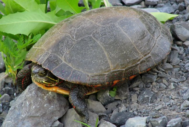 A2_Midland_painted_turtle